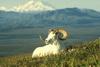 Dzikie owce i kozy 74