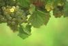 Winogrona i wino 5