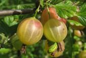 Agrest owoc