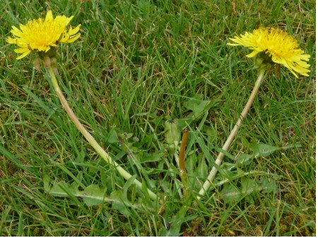 Taraxacum officinale, By Dahola (Own work) [GFDL or CC BY-SA 3.0], via Wikimedia Commons