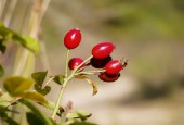 Dzika róża - owoce. By Júlio Reis (User:Tintazul) (Original File) [CC BY-SA 2.5], via Wikimedia Commons