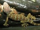 Toke, Gekko gecko, Tokay Gecko