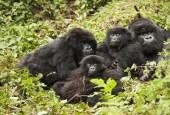Rodzina goryli górskich, fot. shutterstock