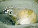 Borsuk amerykański, Taxidea taxus, American Badger