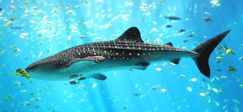 By User:Zac Wolf (original), en:User:Stefan (cropping) (en:Image:Whale shark Georgia aquarium.jpg) [CC BY-SA 2.5], via Wikimedia Commons