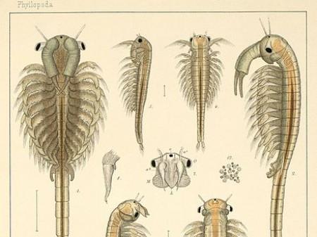 Skrzelopływka bagienna