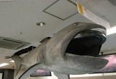 Rekin wielkogębowy