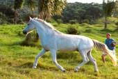Koń domowy
