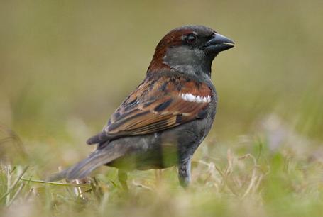 Wróbel, Passer domesticus, House Sparrow