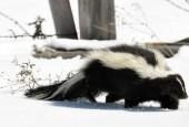 Skunks zwyczajny