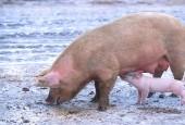 Świnia domowa