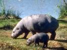 Hipopotam karłowaty,Hexaprotodon liberiensis, pygmy hippopotamus