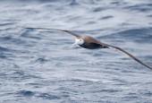Albatros wędrowny - ptak młodociany