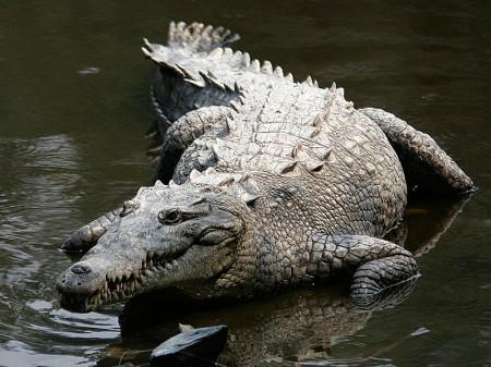 Krokodyl amerykański. By Tomás Castelazo [CC BY-SA 2.5-2.0-1.0], from Wikimedia Commons