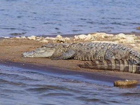 Krokodyl błotny