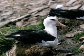 Albatros czarnobrewy