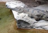 Krokodyl gawialowy