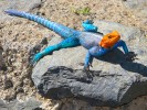 Agama czerwonogłowa, Common Agama, Red-headed Rock Agama, Agama agama