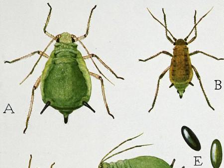 A - dorosła samica; B - dorosły samiec; C - młoda samica, D - samica z jajkami, E - jaja mszycy. Źródło: wikipedia