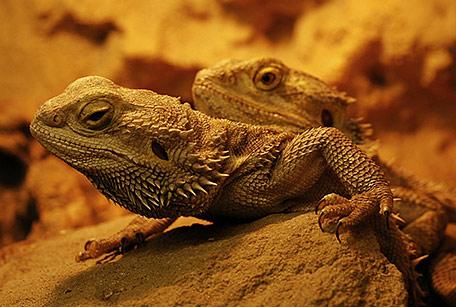 Agama brodata, Pogona vitticeps, Bearded Dragon