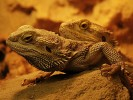 Agama brodata, Pogona vitticeps, Bearded Dragon