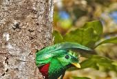 Kwezal herbowy - samiec