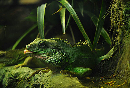 Agama błotna, Physignathus cocincinus, Chinese Water Dragons