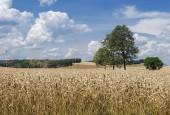 Węgorek spotykany wszędzie tam, gdzie uprawiane są różne gatunki zbóż żywicielskich
