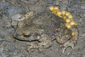 Pętówka babienica - samiec