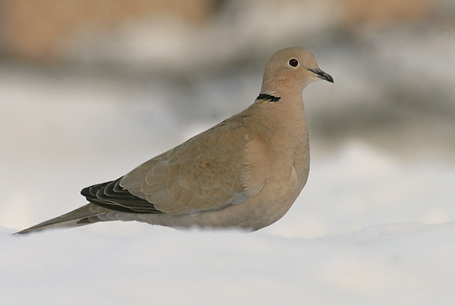Sierpówka, Streptopelia decaocto, Eurasian Collared Dove