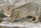 Kot błotny