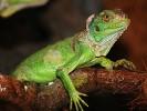 Legwan zielony, Iguana iguana, Green Iguana