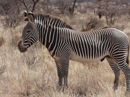 Zebra pręgowana