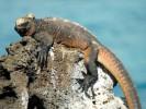 Legwan morski, Amblyrhynchus cristatus, Marine Iguana