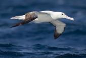 Albatros królewski
