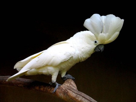 Kakadu biała
