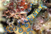 The greater blue-ringed octopus