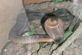 Kobra egipska