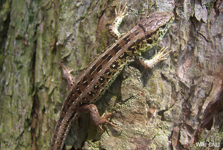 Jaszczurka zwinka, Lacerta agilis, sand lizard