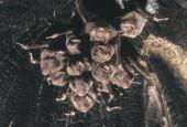 Kolonia wampirów zwyczajnych