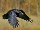 Kruk, Corvus corax, Common Raven