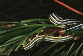 Strzygonia choinówka