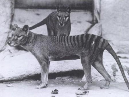 Wilkowór tasmański