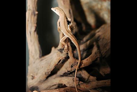 Stepniarka egipska, Acanthodactylus pardalis, Leopard Fringe-fingered Lizard