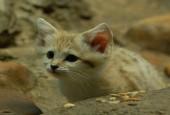 Kot pustynny