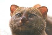 Jaguarundi amerykański