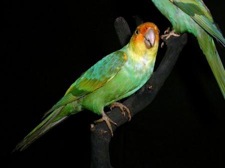 Papuga karolińska