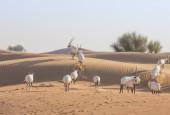 Oryksy arabskie, fot. shutterstock