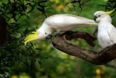 Kakadu żółtoczube, fot. shutterstock