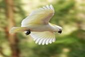 Kakadu żółtoczuba w locie, fot. shutterstock